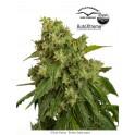 AutoXtreme semillas de marihuana autoflorecientes| Dutch Passion