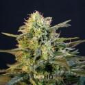 Mamba Negra semilla marihuana feminizada