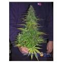 Sugar Loaf semilla marihuana feminizada
