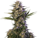 Kraken - Buddha Seeds- Semillas feminizadas