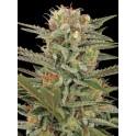 Original Amnesia - Dinafem - semillas de marihuana