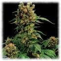 California Hash Plant 100%