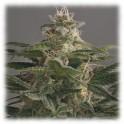 Semillas de marihuana OG Kush - Dinafem