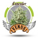 Lavender (Feminizada)