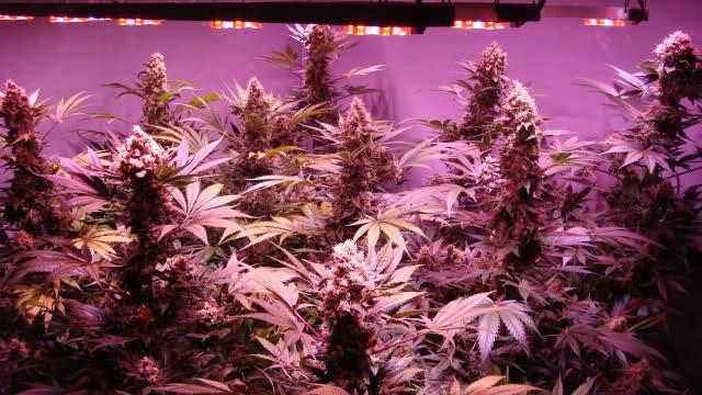Tecnolog a led para cultivo de marihuana cultivo de interior for Kit de cultivo de interior
